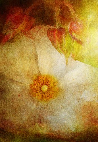 Evening Cistus flower